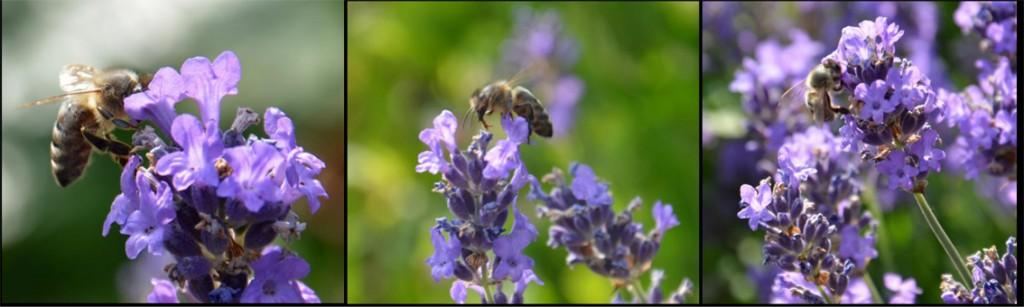 LavendelBienen