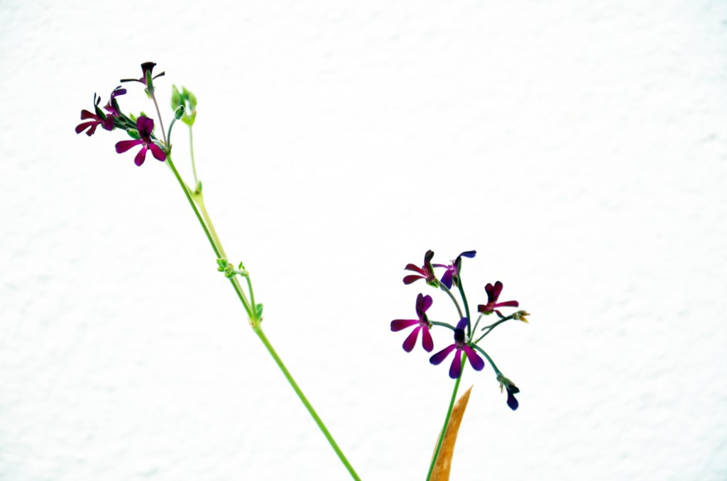 Pelargonium acetosum
